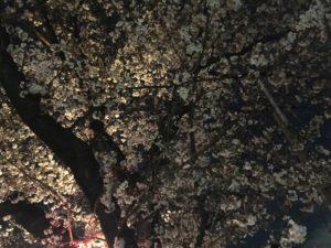 2018夜桜